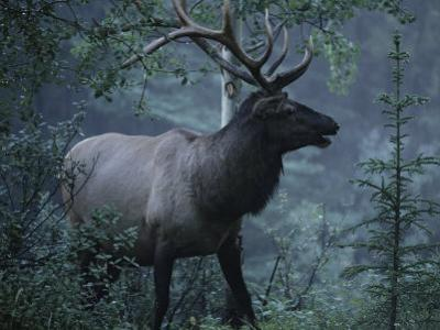 Adult Bull Elk with Antlers in a Woodland Landscape