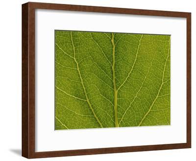 Close View of Cottonwood Leaf Veins
