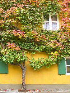 Augsburg Tree and Windows by George Johnson