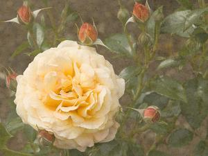 Christchurch Yellow Roses by George Johnson