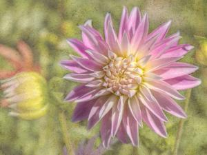 Garden Dahlias by George Johnson