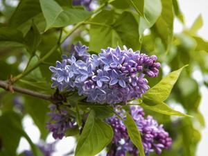 Karen's Lilac by George Johnson