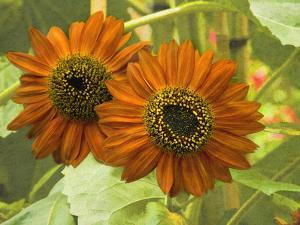 New Zeal and Sunflower by George Johnson