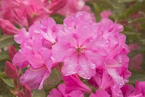 Pink Rhododendron by George Johnson