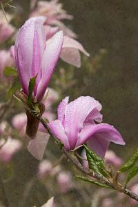 Pink Tulip Tree I by George Johnson