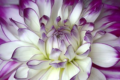 Purple and White Dahlia by George Johnson