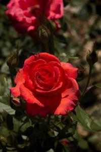 Red Rose by George Johnson