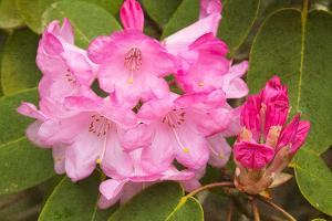 Rhododendron I by George Johnson
