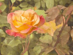 Sunset Rose by George Johnson