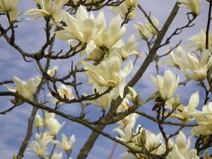 Tulip Treer by George Johnson