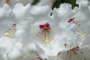 White Rhododendron by George Johnson