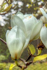 White Tulip Tree II by George Johnson