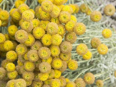 Yellow Puff Balls
