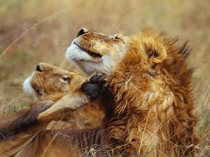 Lion Scratching Neck with Paw by George Lepp