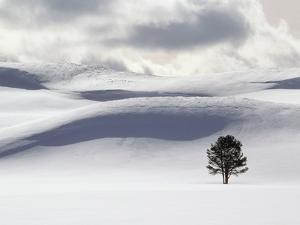 Lodgepole Pine in Snow by George Lepp