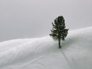 Lone Lodgepole Pine in the Snow by George Lepp