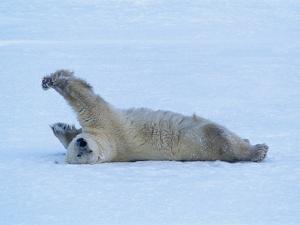 Polar Bear Stretching by George Lepp