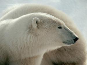 Polar Bear by George Lepp