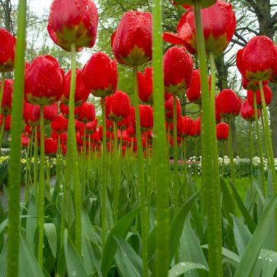 Red Tulips with Raindrops