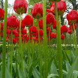 Tulip's Petals-George Lepp-Photographic Print