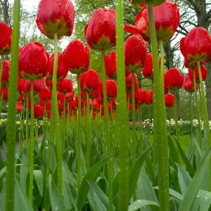 Red Tulips with Raindrops by George Lepp