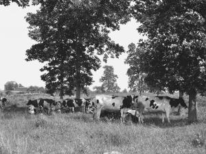 Cows on Field by George Marks
