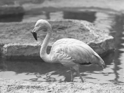 Flamingo Wading in Water