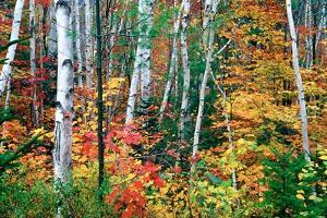 Birch Trees And Foliage, New Hampshire by George Oze