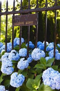 Blue Hydrangeas of Bellevue Ave, Newport, RI by George Oze