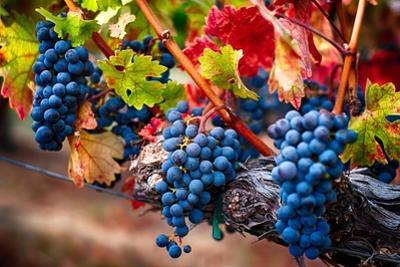Bunch Of Blue Grapes On The Vine by George Oze