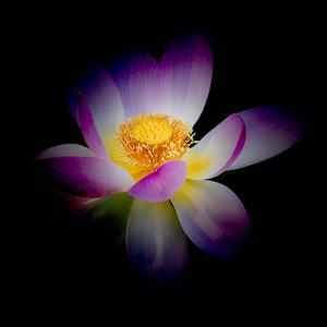 Close Up View of a Blooming Lotus Flower on a Dark Background by George Oze