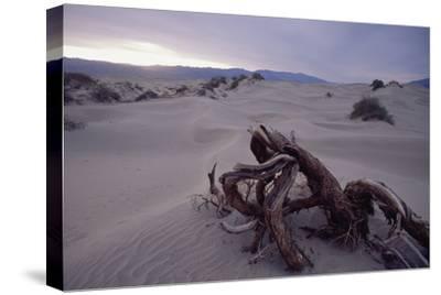 Death Valley Tree, California