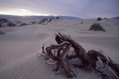 Death Valley Tree, California by George Oze