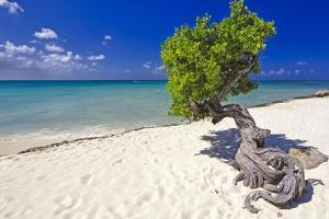 Lone Divi Tree on a Beach, Aruba by George Oze