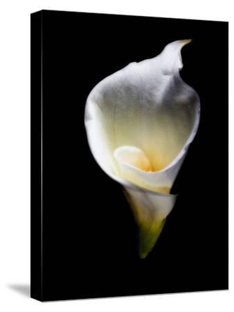 Luminous Calla Lily