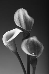 Three Pink Calla Lilies by George Oze