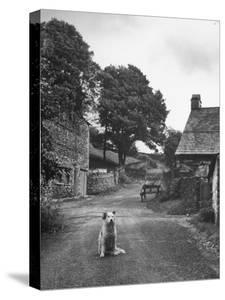 Collie Sheepdog Sitting in Road Leading Up Toward Castle Farm Owned by Beatrix Potter by George Rodger