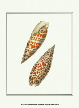 Volute Shells