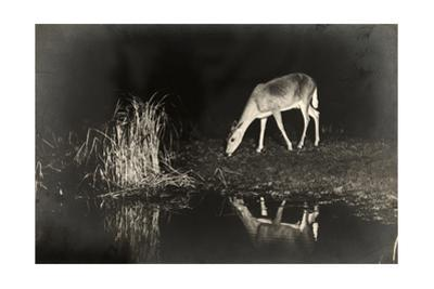 A View of a Red Deer's Reflection in the Lake as it Eats by George Shiras