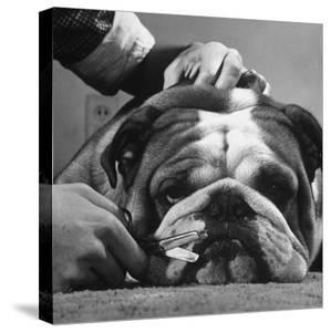 Bulldog Having Whiskers Clipped with Stubby Pair of Scissors in Preparation for Westminister Show by George Silk