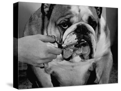 Bulldog Having Whiskers Clipped with Stubby Pair of Scissors in Preparation for Westminister Show
