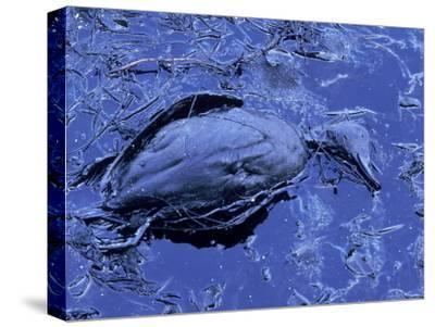 Dead Bluebill Duck, Lying on Its Side, Eyes Open, in an Oil Spill from Greek Tanker Delian Apollon