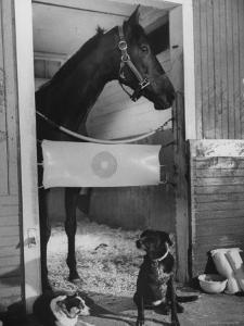 Horse of the Year, Kelso, Standing in His Stall by George Silk