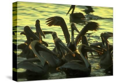 Pelicans in the Sunset at Key Biscayne, Florida