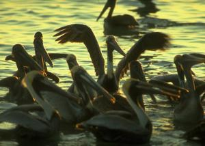 Pelicans in the Sunset at Key Biscayne, Florida by George Silk