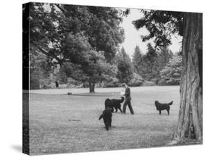 US Attorney General Robert Kennedy Reading a Book While Walking Across the Lawn with His Three Dogs by George Silk