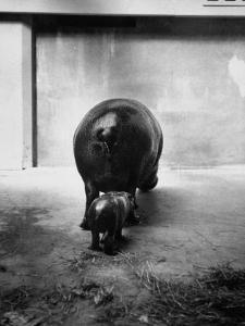 Baby Pygmy Hippo, Gumdrop, Following His Mother to Take a Nap by George Skadding