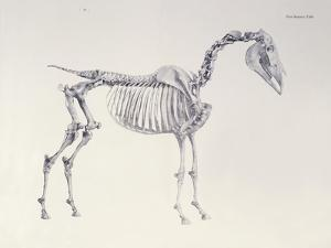First Skeleton Table, from 'The Anatomy of the Horse' by George Stubbs