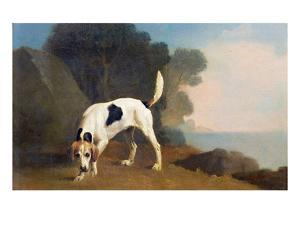 Foxhound on the Scent, C.1760 (Oil on Paper Laid on Board) by George Stubbs