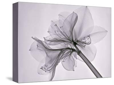 X-Ray of Amaryllis Flowers